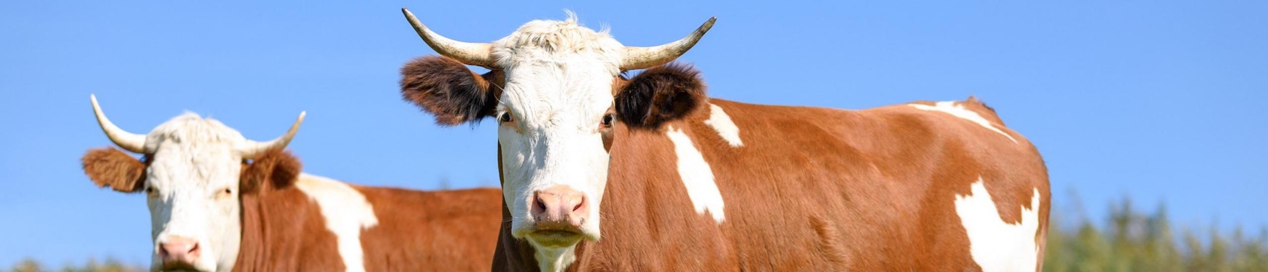 Снимка на крави